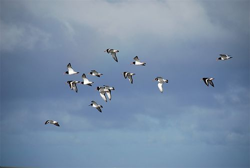 Oystercatchers-on-islay